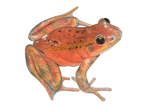 Red Legged Frog illustration